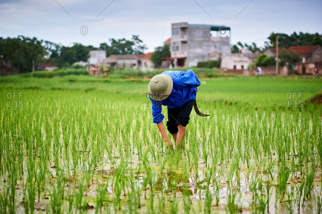 Rice farmer working in his field