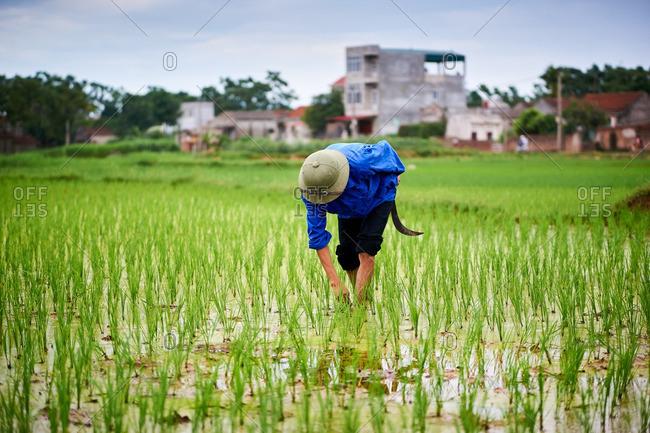 Rice farmer working in his field