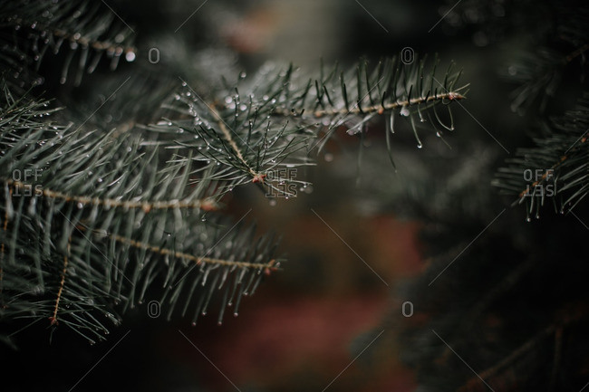 Close up of wet pine branches