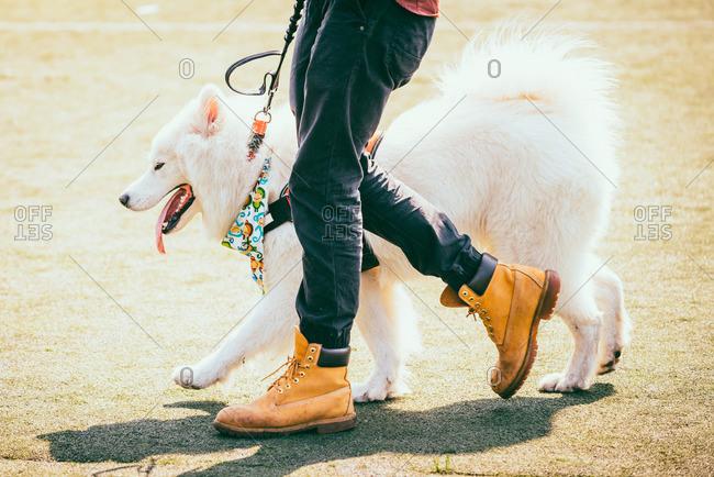 Walking with Alaskan Malamute dog