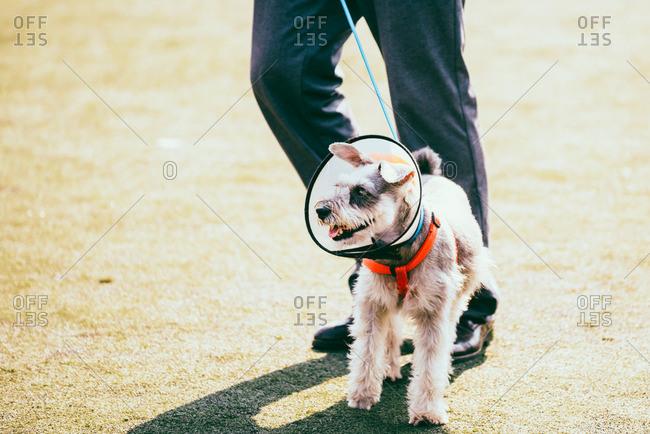 Walking Schnauzer dog with head cone