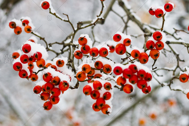 Red berries on braches after a heavy snowfall