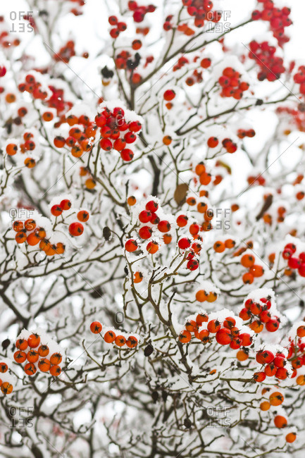 Snow-covered bush with red berries after snowfall