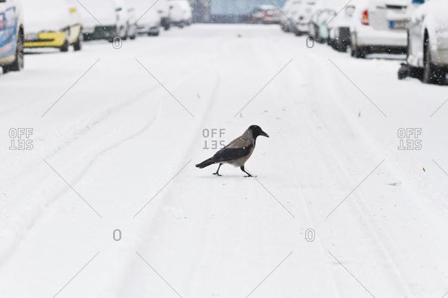 Bird crossing a street after a heavy snowfall n Berlin, Germany