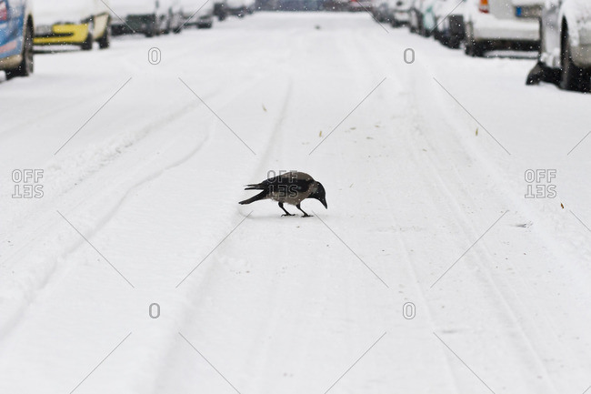 Bird looking for food on a snowy street