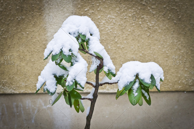 Plant leaves covered in snow