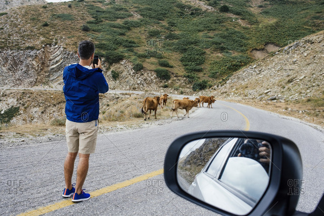 Man taking photo of cattle on mountain road