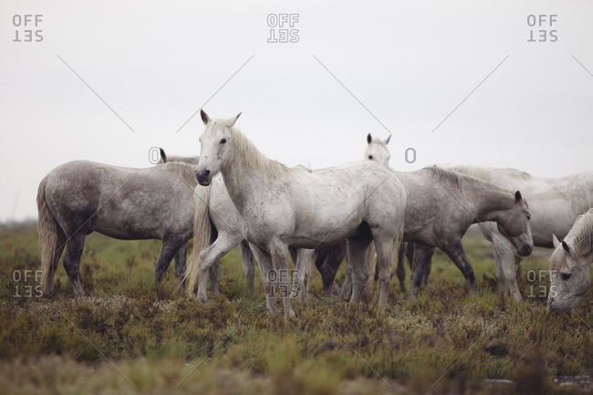 Herd of white horses standing in a field