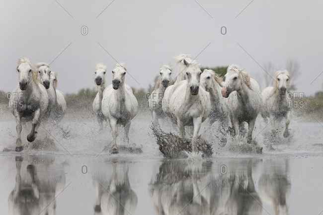 Herd of white horses running toward camera