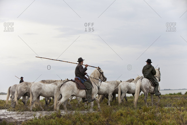 Three guardians on white horses of the Camargue