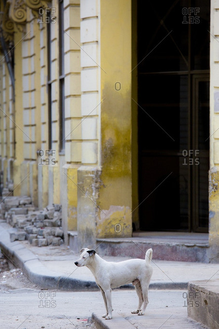 A dog stands in the streets of Old Havana, Cuba