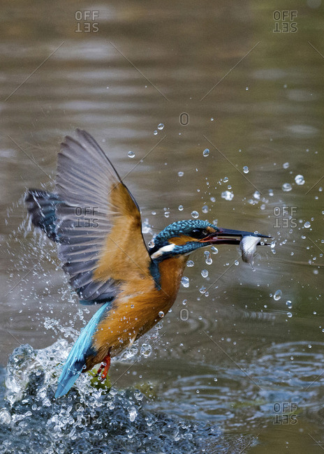 Male common kingfisher with caught fish rising out of the water