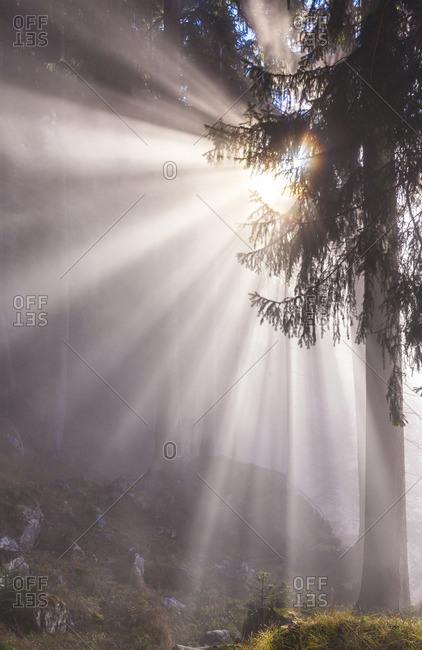 Forest in the fog near Neuschwanstein Castle