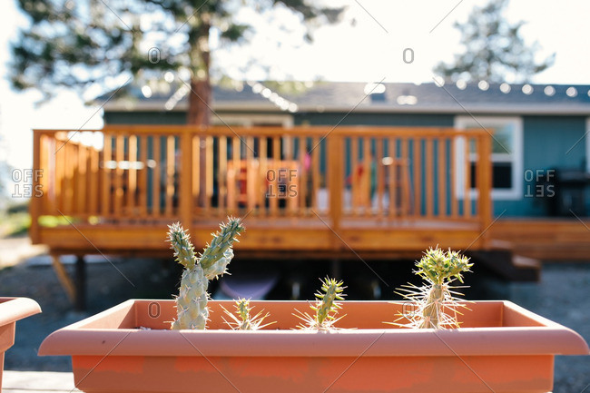 Cactus plants in a sunlit backyard