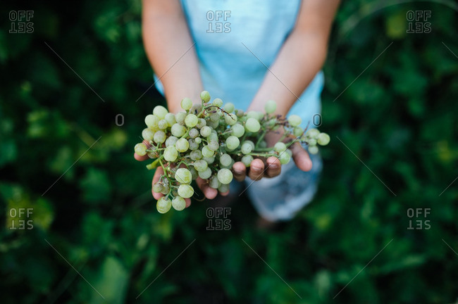 Child's hands with green grape bunch