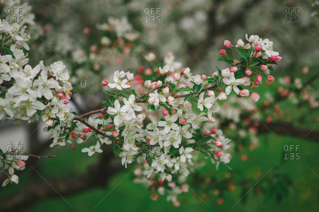 Flowers on tree in bloom