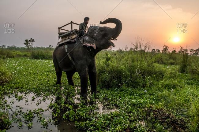 Chitwan National Park, Nepal - April 19, 2016: Man riding elephant at sunset through Chitwan National Park