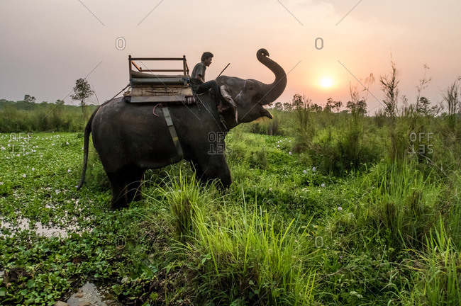 Chitwan National Park, Nepal - April 19, 2016: Man riding an Indian elephant at sunset through Chitwan National Park