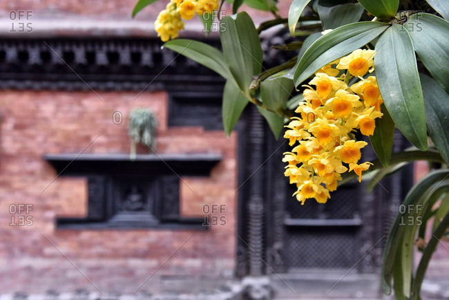 Yellow orchids in front of an old building in Nepal