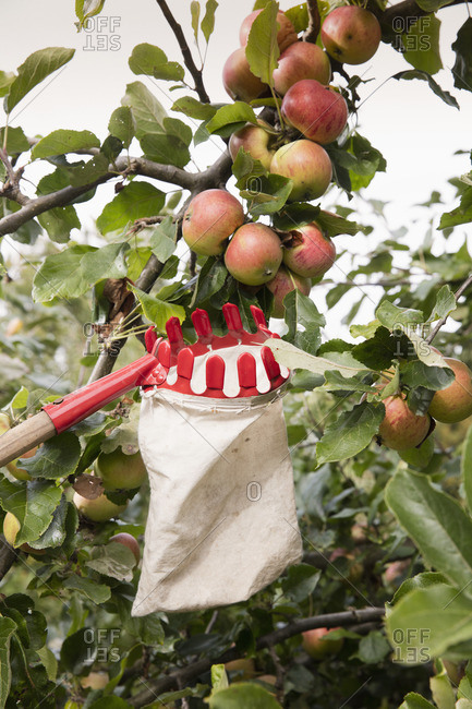 Low angle view of fruit picker below apples in orchard