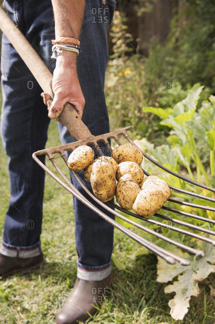 Low section of man with potatoes on gardening fork in garden