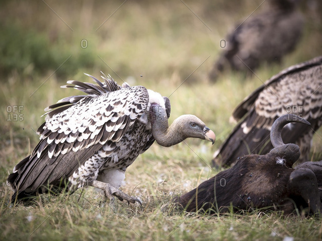 Vulture by a dead wildebeest