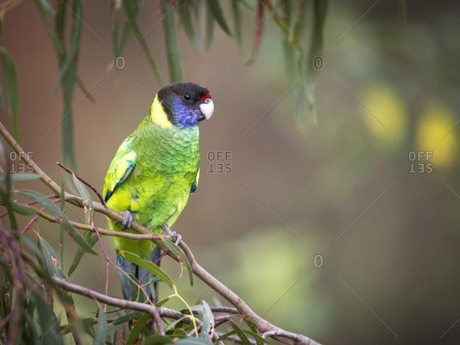 An Australian ring neck parrot
