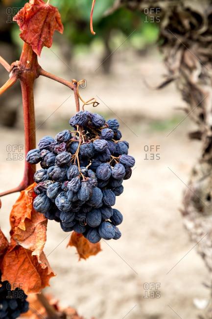 Shriveled gripes on a vine