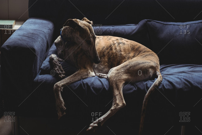 Dog sitting on sofa in living room
