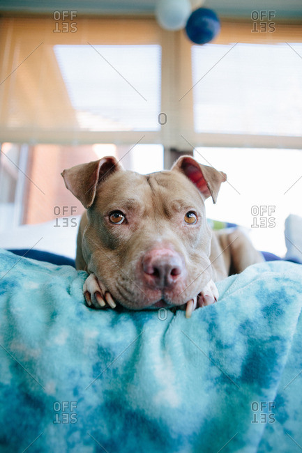 Dog resting its head on its paws on a blue blanket