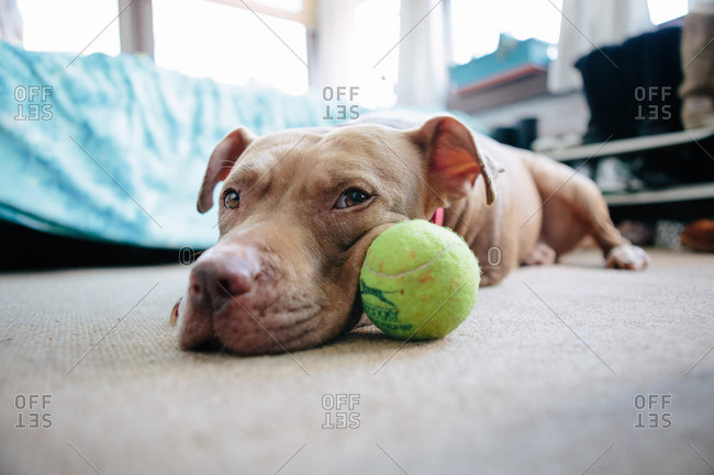 Dog lying on a carpet with its cheek on a tennis ball