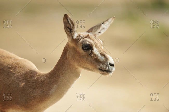 Head and neck of a female gazelle