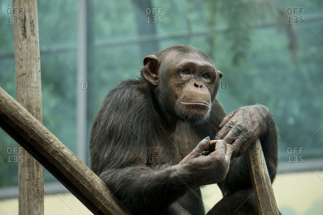 Chimpanzee sitting against branches at a zoo