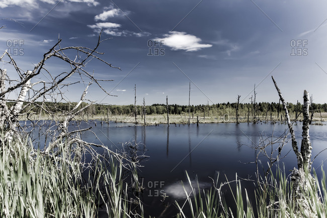 Sky reflected in a swampy pond surrounded by marsh grass