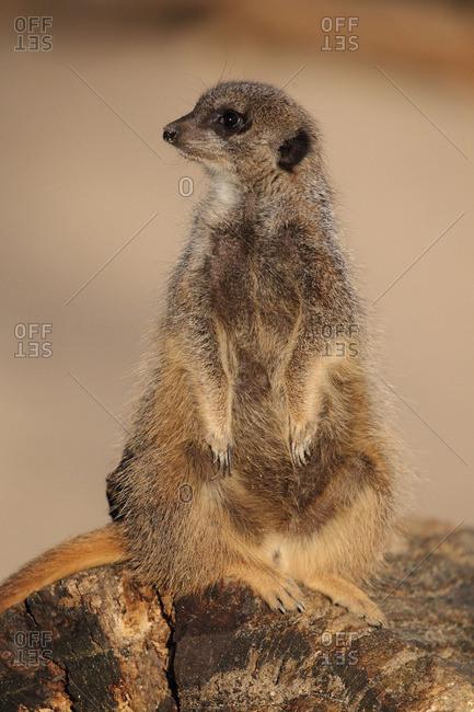Meerkat standing on its hind legs