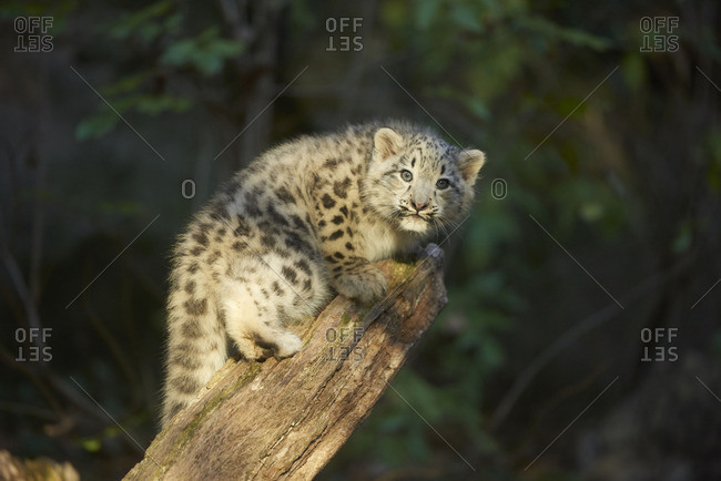Leopard cub crouched on a log