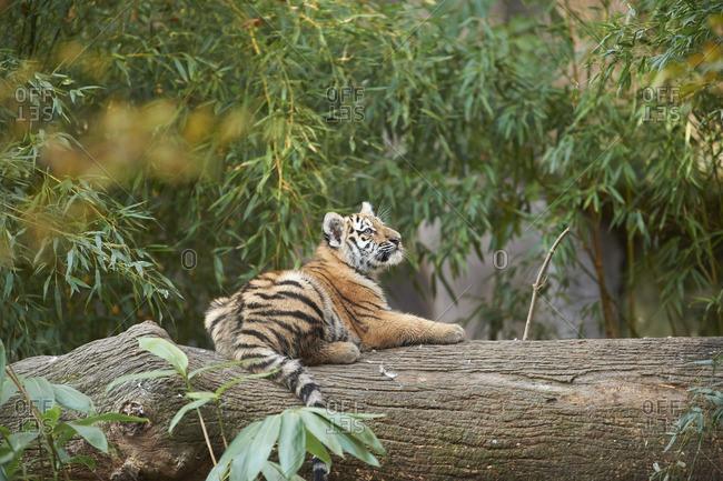 Tiger lying on a fallen tree