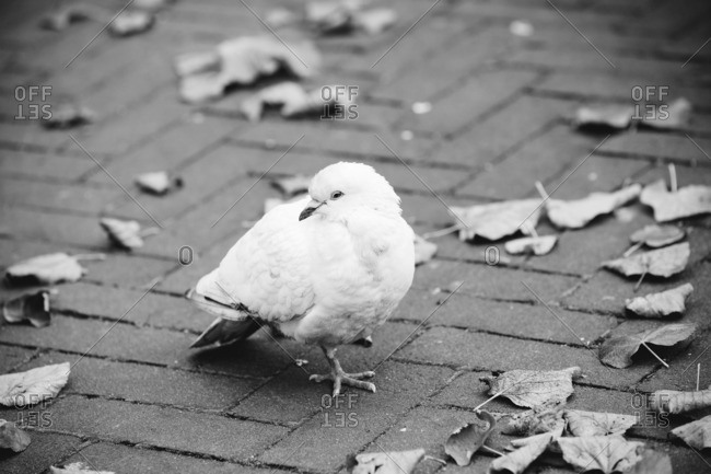 Dove on a brick sidewalk with leaves