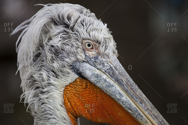 Close-up of the face and beak of a pelican