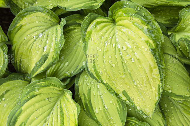 Close-up of green hosta leaves with drops of dew