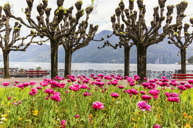 Yucca trees and pink flowers on a waterfront near mountains