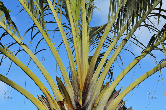 Palm fronds fanning from the base of a tree trunk
