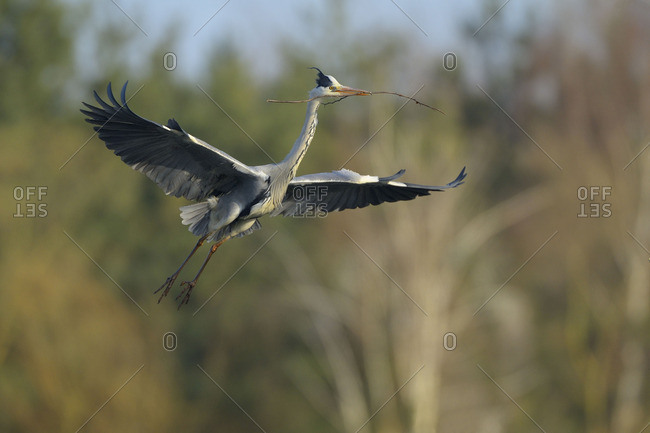 Grey heron in mid-flight carrying a stick to build a nest