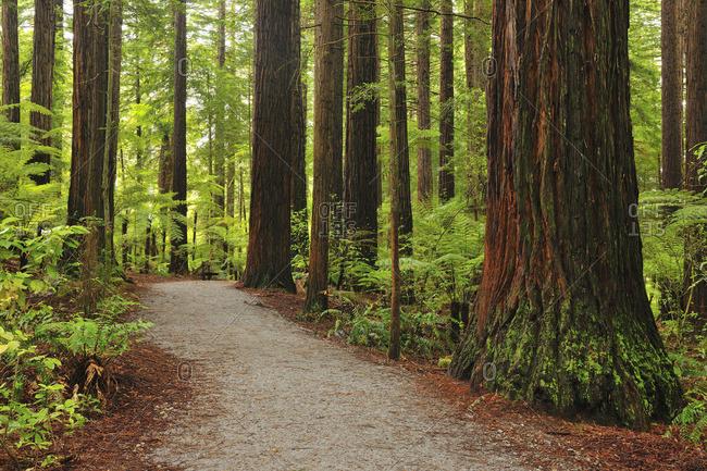 Path through redwood trees in the  Whakarewarewa Forest, New Zealand