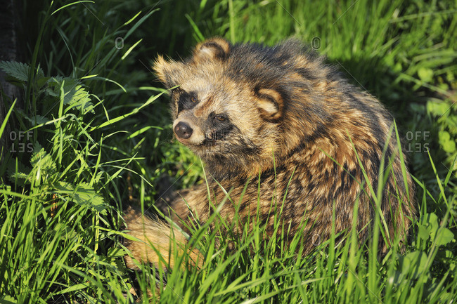 Raccoon dog curled up in green grass