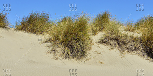 Beach grass on a sand dune and blue sky