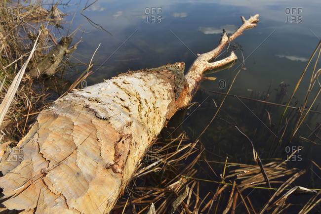 Tree trunk with teeth marks from a European beaver at the edge of a swamp