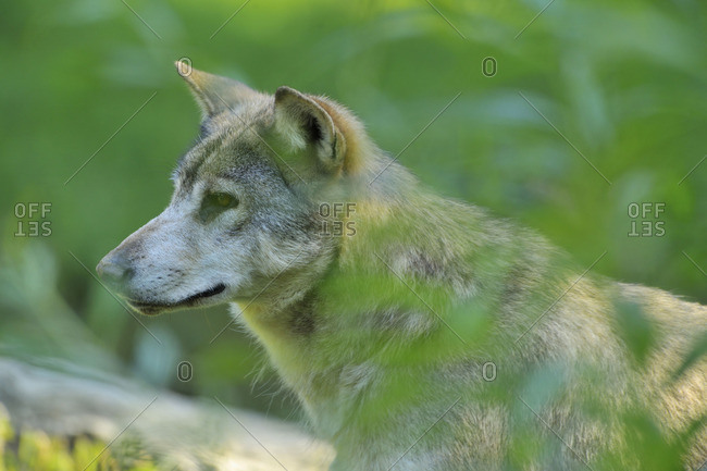 Wolf standing among blades of grass