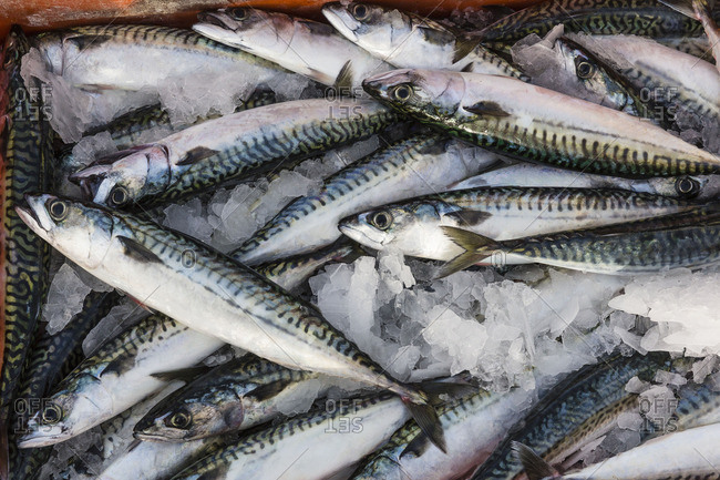 Freshly Caught Herring Fish On Ice In A Box Stock Photo Offset