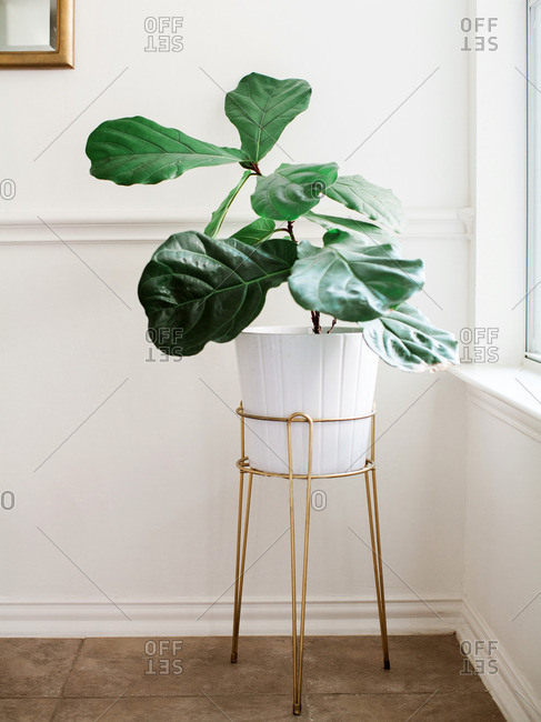 Fiddle Leaf Fig Tree by Window
